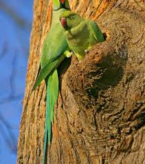 invasive parrots have varying impacts