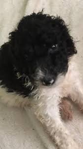 tennessee dog puppies for