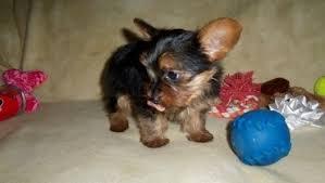 teacup yorkshire terrier puppies