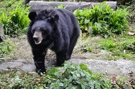 The Himalayan Black Bear, At The Padmaja Naidu Himalayan Zoological.. Stock Photo, Picture And Royalty Free Image. Image 22771487.