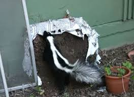 That Skunk Doesn T Want To Spray You Or Your Dog Wildcare
