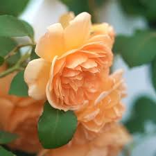Dame Judi Dench Rose ...