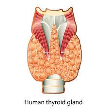 thyroid mcvitamins
