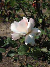 grow and care for rose bushes