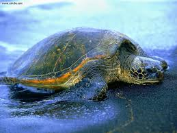 28512 turtle wallpaper