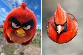 Real-life Angry Bird is at large