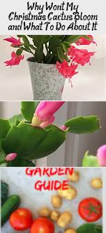 couple quotes why won t my christmas cactus bloom and what to