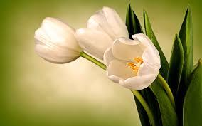 التيوليب الأبيض زهور المحبين مبتدا