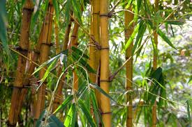About Bamboo Plants Varieties That Aren T Invasive Fastgrowingtrees Com