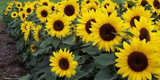 how to plant and care for sunflowers