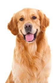 Dog Dog Golden Retriever Retriever Clipart - Dog Clipart Animals Clip art