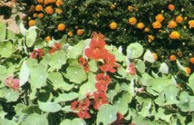 safe homemade natural pesticides
