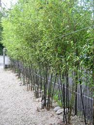 the best bamboos for ireland