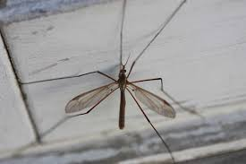 crane flies harmless bugs with a bad