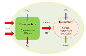 the path of carbon in photosynthesis