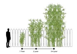 How Far Apart To Space Bamboo Plants For A Hedge Or Privacy Screen Wilson Bros Gardens