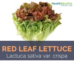 red leaf lettuce health benefits and