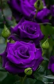 خلفيات زهور وورود صور ورود Hd صور ازهار طبيعيه بالوان رائعه
