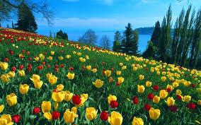 tulip flower wallpaper hd 1280x800