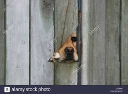 Labrador Dog Looking Through A Hole In A Fence Stock Photo Alamy
