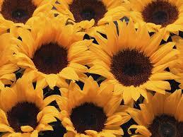 sunflowers background 9 wallcoo net