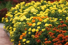 mighty marigolds for organic gardening
