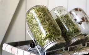 broccoli sprouts benefits how to grow