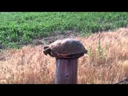 Turtle Running On A Fence Post Youtube