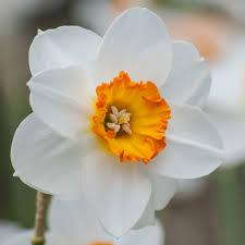 صور زهرة النرجس جميلة 2018 صور ورد وزهور Rose Flower Images