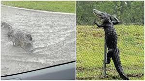 Alligator Jumps Off Fence In Florida In Horrifying Viral Video Remember Vadodara Floods Trending News News