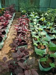 vegetable garden red spinach