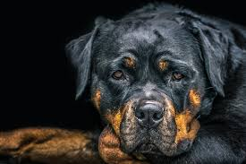 rottweiler wallpapers 30