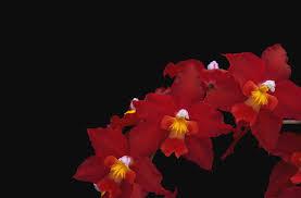 زهرة الأوركيد زهرة أحمر مسلك أسود خلفية خلفية مجانا الصور