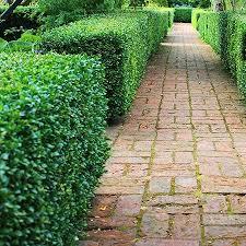 Green Velvet Boxwood Shrub Green Velvet Boxwood Fast Growing Trees Boxwood Landscaping