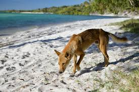 Dog Owners Could Take The Lead On Dingo Conservation With A Fido Fund