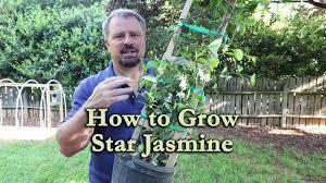 How To Grow Star Jasmine Confederate Jasmine With A Detailed Description Youtube