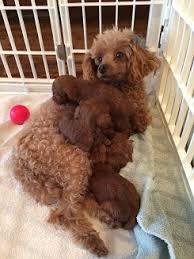 pamela s pered poodles home