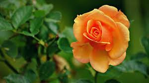 beautiful flower wallpaper free