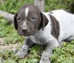 delia german shorthaired pointer puppy