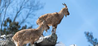 fascinating facts about the markhor national animal of