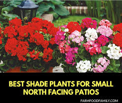 shade plants for small north facing patios