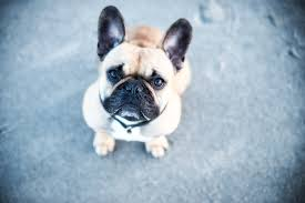 french bulldog allergies