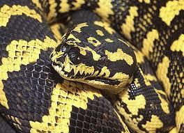 carpet python care sheet reptile centre