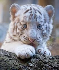 baby white tiger cutest paw this is