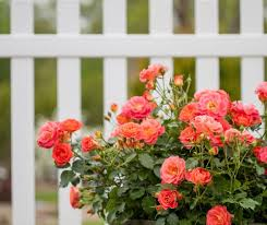 Modern Roses Are Much Easier To Grow In Your Garden Than You Might Think