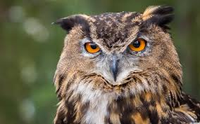 Owl Looking Crazy HD wallpaper download