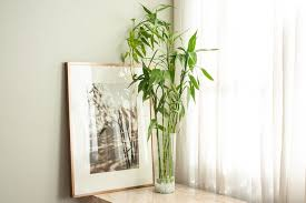 growing and caring for lucky bamboo