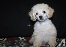 toy poodle female in texas