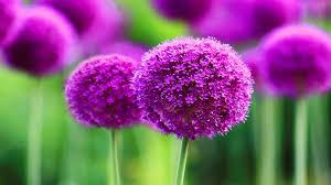 free beautiful purple flower