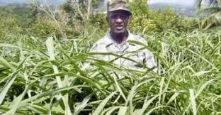 The Benefits Of 4 Jamaican Bush Teas Dig Jamaica